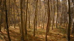 3 axis Motion Time Lapse of Yellow Aspen Forest Fall Foliage -Zoom In- - stock footage