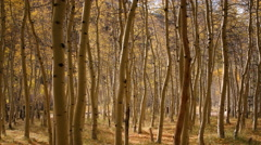 3 axis Motion Time Lapse of Yellow Aspen Forest Fall Foliage -Zoom Out- Stock Footage