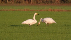 Whooper swans eating the grass Stock Footage
