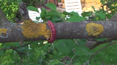 the bark of the tree creeps a large caterpillar - stock footage