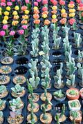 agriculture of mini cactus - stock photo