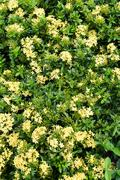 Yellow ixora field Stock Photos