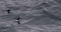 Close of Guillemots Swimming in Arctic Waves Stock Footage