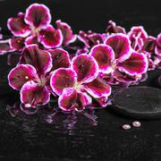 beautiful spa concept of blooming dark purple geranium flower and beads on ri - stock photo
