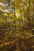 autumn forest . Belarus - stock photo
