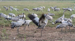 Jumping Common Crane flock Stock Footage