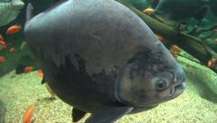 Pacu Fish Swimming Underwater Stock Footage