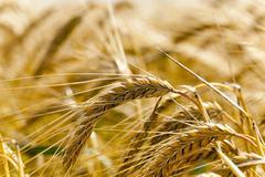 grow ripe cereals - stock photo