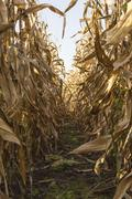 Corn on stalk in cultivated maize field ready to harvest. - stock photo