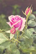 Stock Photo of Beautiful pink rose in a garden