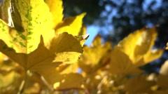 Stock Video Footage of golden leaves in beijing xiangshan mountain