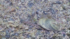 Sand goby hiding under shell Stock Footage