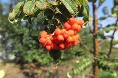 Stock Photo of Ripe European rowan berries (Sorbus aucuparia) in the autumn sunny garden