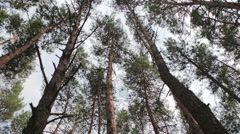 Firs in the pine forest - stock footage