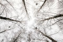 treetops . winter season - stock photo