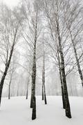 Stock Photo of trees.    winter season.