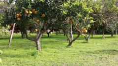 Oranges in the orange grove Stock Footage