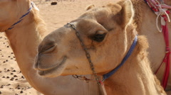 Oman camel (dromedary) chewing extreme closeup 4K UHD Stock Footage