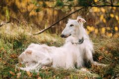 Dog Russian Borzoi Wolfhound Sit, Outdoors, Autumn Season Stock Photos