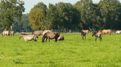 Wild living duelmen horses in green pasture 4K UHD Stock Footage