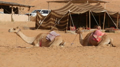 Two camels (dromedary) lying in desert in front of tent 4K UHD Stock Footage