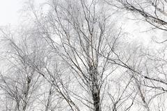 Treetops .  winter season Stock Photos