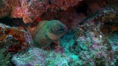Mid shot green moray eel hiding in corel Stock Footage