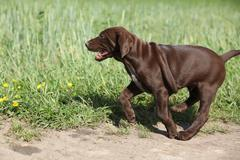 Stock Photo of Puppy of German Shorthaired Pointer running