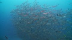 school of snapper with shark - stock footage