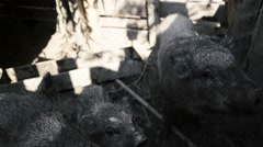 Thirsty pigs feed on traditional rural farm yard Stock Footage