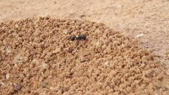 Ant climbs in the sand Stock Footage