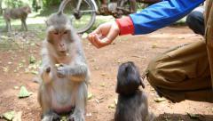 4k monkeys wildlife human tourist person feeding primate - stock footage
