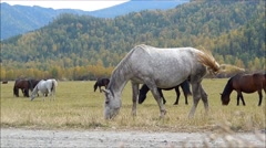 herd of horses grazing in a pasture in the mountain Altai. - stock footage