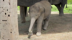 Baby Elephant Playing Stock Footage