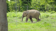 Baby Elephant Walking - stock footage