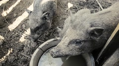Thirsty pigs feed on traditional rural farm yard - stock footage