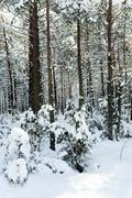 Stock Photo of trees in winter