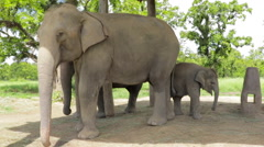 Elephant Family in Nepal Stock Footage