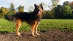 Belgian shepherd dog Stock Footage