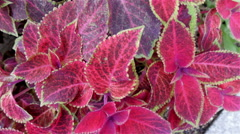 The pink leaves of the Plectranthus scutellarioides plant Stock Footage