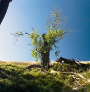 Majestic alone beech tree on a hill slope with sunny beams at mountain valley Stock Photos