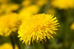 close up flowers  dandelions - stock photo