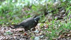 Wood pigeon Stock Footage