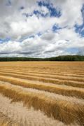 Agricultural field .  flax Stock Photos