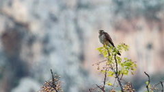 Kestrel Bird Stock Footage