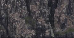 Slow Motion - Tilt Bird Cliff to Rafts of Sea Birds - stock footage