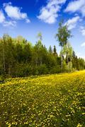 yellow dandelions . spring season - stock photo