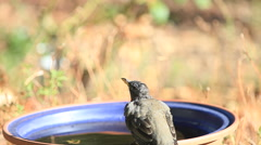 Robin drinks at bird bath Stock Footage
