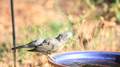 Robins drink water on a hot day Stock Footage