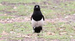 Magpie bird Stock Footage